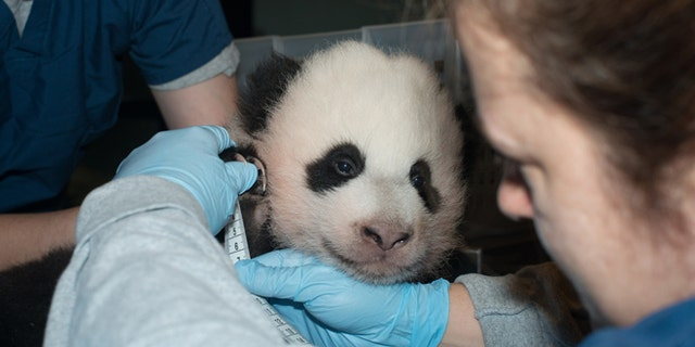 Nov. 29, 2013: In this photo provided by the Smithsonian National Zoo, a giant panda cub is measured as it is about to turn 100 days old, at the Smithsonian National Zoo in Washington.