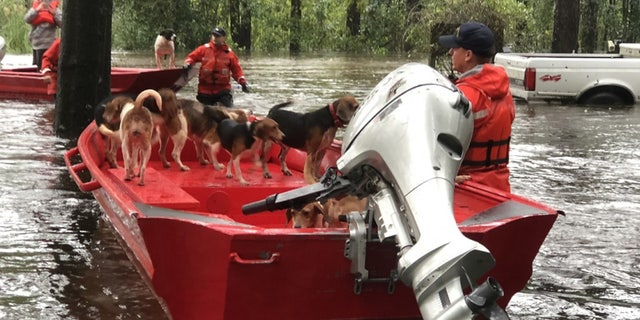 Members of Coast Guard rescue team helped save a group of 10 beagles from floodwaters spawned by Hurricane Florence in Riegelwood, North Carolina.