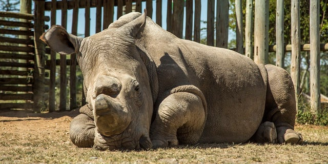 Sudan, the last male northern white rhino, at Ol Pejeta Conservancy in Kenya on June 25, 2015.