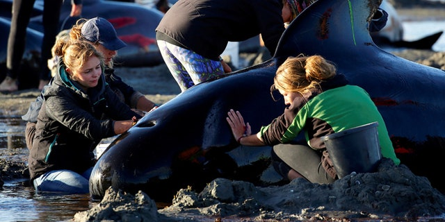 Volunteers attend to some of the hundreds of stranded pilot whales still alive.