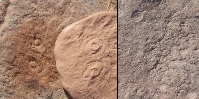 Obamus coronatus (left) and Attenborites janeae (right) were discovered in a mountain range in Australia.