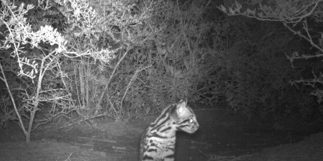 New ocelot kitten photographed by remote camera at Laguna Atascosa NWR (USFWS).