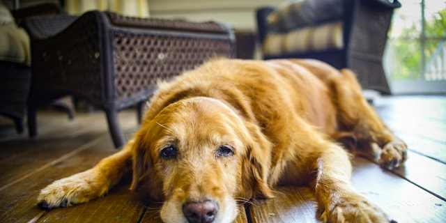 This was my dog Cali's last day before we had to put her to sleep. She was a great Golden Retriever!