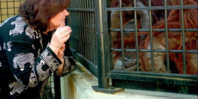 Chantek became one of the first primates to communicate using American Sign Language.