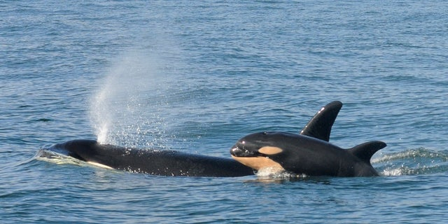 Scientists discover killer whales engage in infanticide, just like many other mammal species.