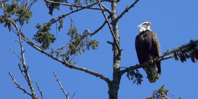 A wild bald eagle perches in a tree above the Oregon Zoo.