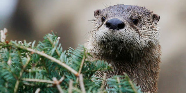 FILE 2014: A  river otter attacked an 8-year-old boy and his grandmother as they were swimming in a Washington state river.