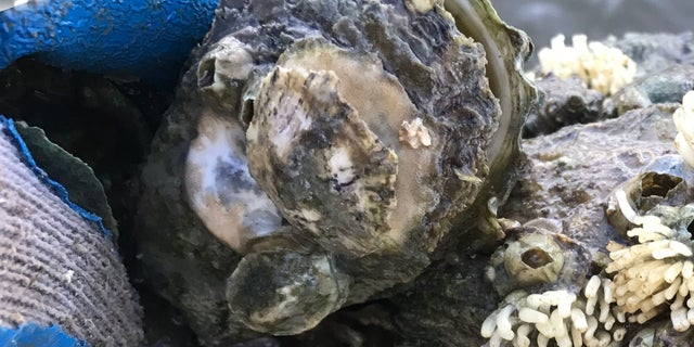 Oyster drills prey upon oysters in the Apalachicola Bay. Elevated salinity fosters greater density of these predators.