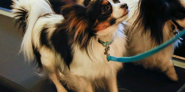Bridges has been accused of allowing a client's Papillon, like the one pictured here, to be hit by a car.