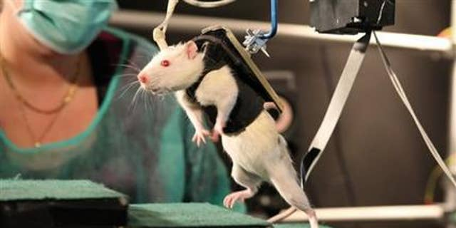 In this photo provided by the Ecole Polytechnique Federale de Lausanne, a previously paralyzed rat in a special harness walks voluntarily after several weeks of rehabilitation in a laboratory in Switzerland.  (AP Photo/Ecole Polytechnique Federale de Lausanne)