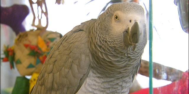 So far Rocco the African Grey, from Didcot, U.K., has demanded treats such as strawberries, watermelon, raisins, broccoli and ice cream. (file picture)