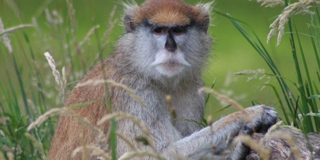 Several Patas monkeys, like the one seen above, were killed when a fire broke out at Woburn Safari Park in the U.K.