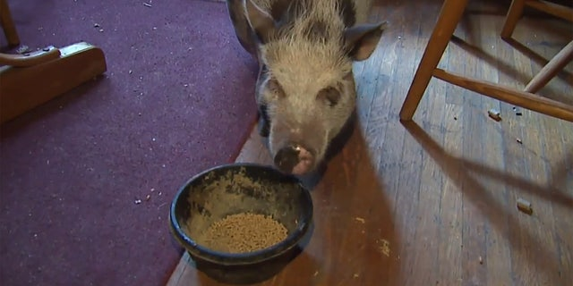 Dumplin's owner told FOX59 she was just happy the pig wasn't hurt during the burglary.