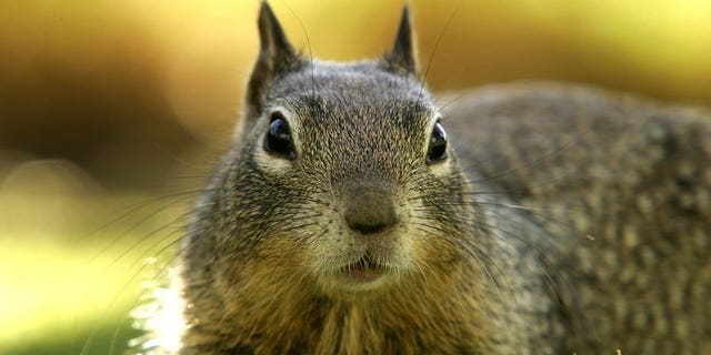A ground squirrel looks for food at Palisades Park in Santa Monica, California, March 6, 2007. Residents of an upscale Ottawa neighbourhood have been spiriting unwanted squirrels across a river into Quebec and dumping them there, a local newspaper said Tuesday.