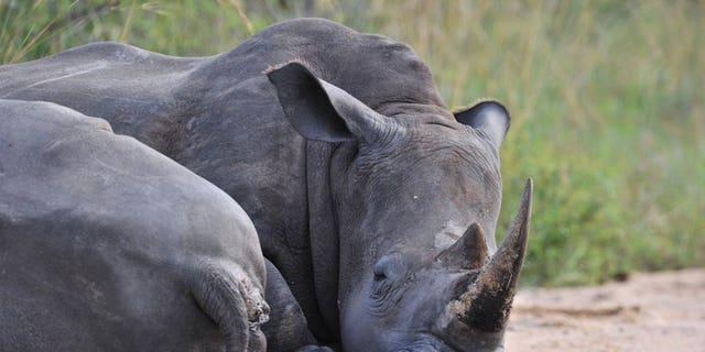 """A rhinoceros rests in the Kruger National Park near Nelspruit on February 6, 2013. South African national park officials claimed a significant victory in the battle against rhino poaching, saying they have arrested a man described as a """"kingpin"""" in the illicit trade."""