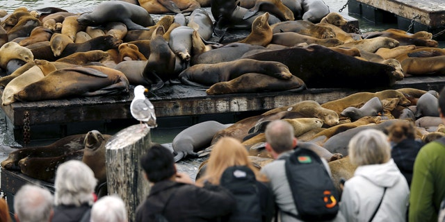 Tourists to San Francisco are drawn to Pier 39 by the sea lions that live on floating docks there.