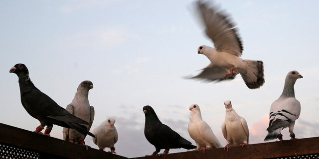 A homeless man is claiming his constitutional rights were violated when his pet pigeons were taken and euthanized by the city of Los Angeles.