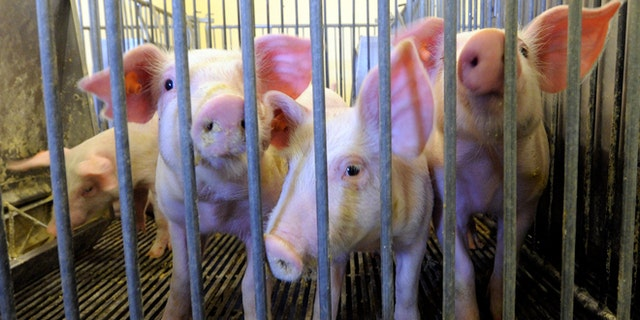 Dec. 12, 2014: Young pigs are seen at the segregated early wean swine nursery at Kansas State University in Manhattan, Kan.