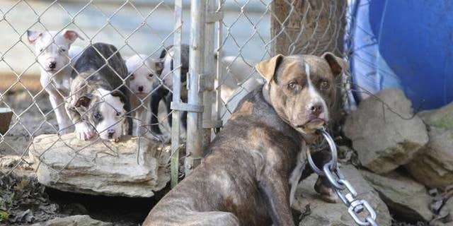A woman was killed and her husband seriously hurt after two pit bulls mauled them on Christmas Eve.