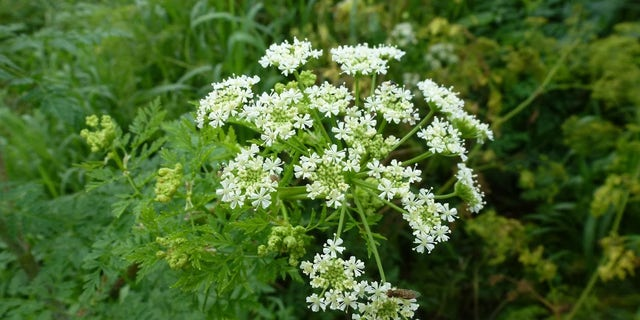 Poison hemlock can grow up to 12 feet tall and has small, white flowers in clusters.