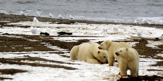 A polar bear sow and two cubs are seen on the Beaufort Sea coast within the coastal plain of the Arctic National Wildlife Refuge in this undated handout photo provided by the U.S. Fish and Wildlife Service.