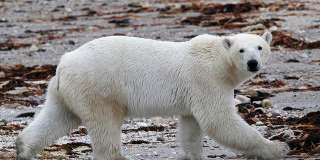 August 23, 2010: A polar bear walks along the shore of Hudson Bay near Churchill, Manitoba.