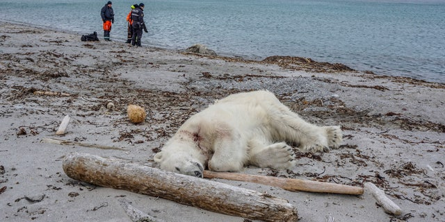 Authorities search the coastline, Saturday, July 28, 2018, after a polar bear attacked and injured a polar bear guard who was leading tourists off a cruise ship on the Svalbard archipelago archipelago between mainland Norway and the North Pole.