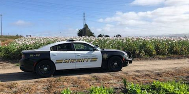 Deputies are investigating after an opium poppy field was found under cultivation on the Monterey Peninsula in California.