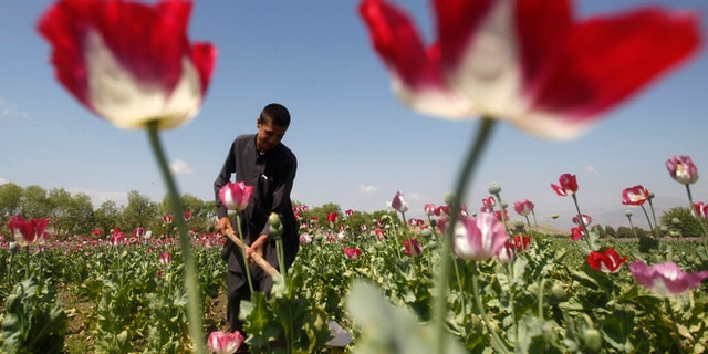 In this April 17, 2014 photo, an Afghan man works on a poppy field in Jalalabad province.