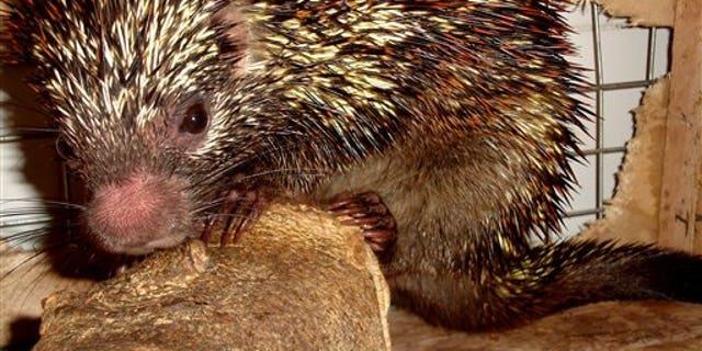 "A new species of the porcupine ""Coendou speratus"" in Pernambuco, Brazil."