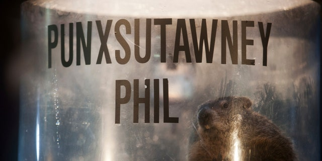 File photo - Groundhog Punxsutawney Phil peers out of his enclosure onstage after his annual weather prediction on Gobbler's Knob on the 128th Groundhog Day in Punxsutawney, Pennsylvania Feb. 2, 2014. (REUTERS/Stephanie Strasburg)