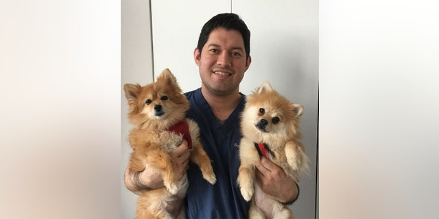 Penny's new family, which includes another Pomeranian 8-year-old Heidi, have been astounded with her progress in such a short period of time.