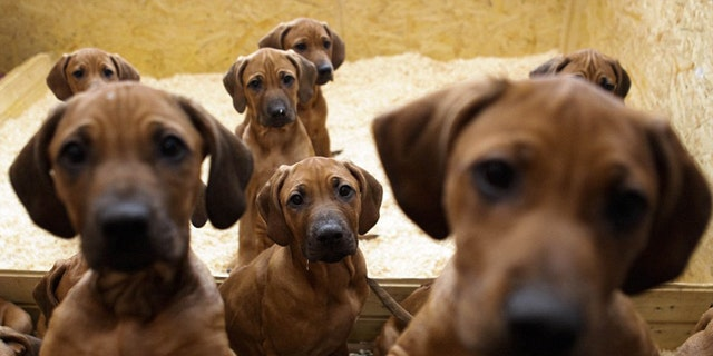 Ramona Wegemann's dog Etana gave birth to eight female and nine male puppies on Sept. 28 in Ebereschenhof, which is near Berlin.