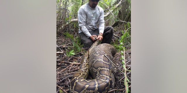 Florida officials released photos of a 2015 case involving a python eating a deer as the case appears in a peer-reviewed Journal in March.