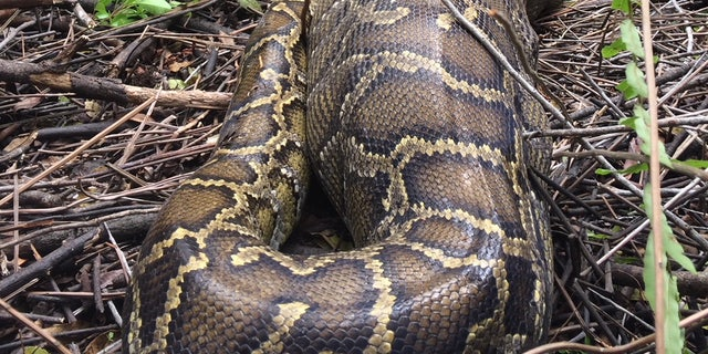 Photos Of Burmese Python Swallowing Deer Released By Florida