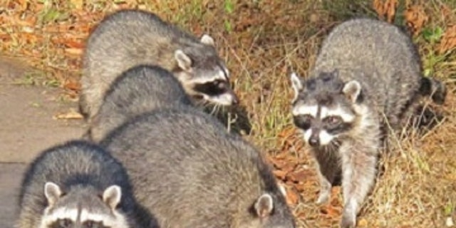 The common factor, found in all of the tumors, was a newly described virus, dubbed raccoon polyomavirus. (Credit: K. Schneider)