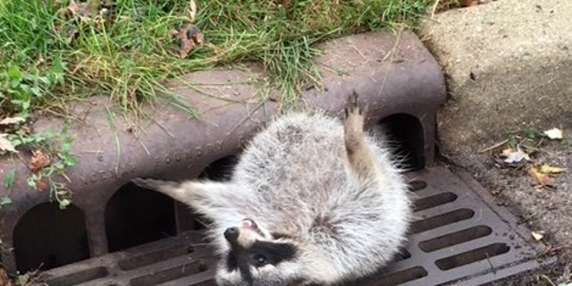 The obese raccoon trapped in the sewer grate (City of Zion Police Department).