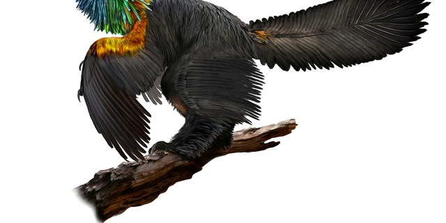 An illustration of a reconstruction of the iridescent dinosaur which had rainbow feathers, named Caihong juji, unearthed in China, is shown in this October 31, 2016 photo released on Jan. 15, 2018. (Illustration by Velizar Simeonovski, The Field Museum/Handout via REUTERS)