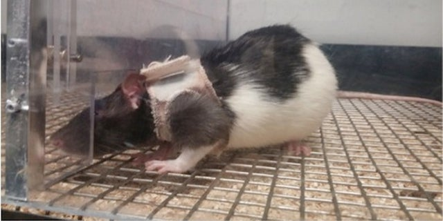 Male rats can be trained to find female rats sexier when clad in tiny jackets.