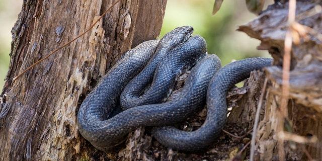 A black rat snake rests in a tree.