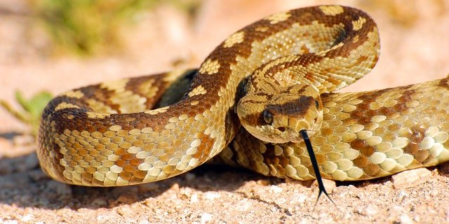 The rattlesnake, similar to the one pictured above, allegedly entered the daycare's outdoor play area.