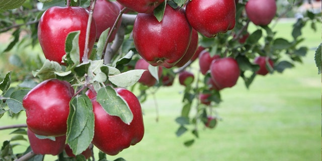 """""""Red Delicious has fallen from grace. I say: Fair enough,"""" one Pennsylvania grower said of the news."""