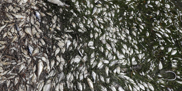 In this Monday Aug. 6, 2018 photo, dead fish are shown near a boat ramp in Bradenton Beach, Fla.