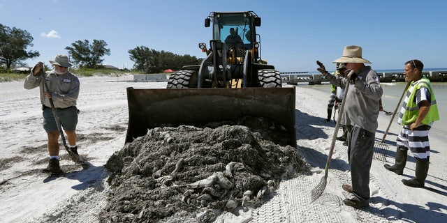 In this Monday Aug. 6, 2018 photo, work crew clean up dead fish on Coquina Beach in Bradenton Beach, Fla.
