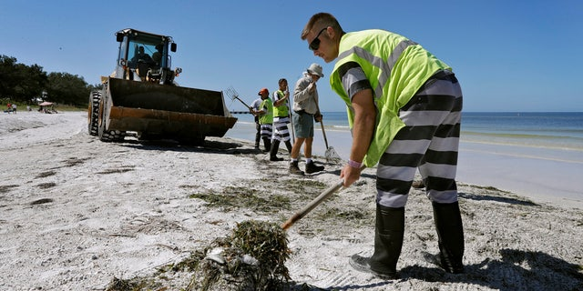 In this Monday Aug. 6, 2018 photo, work crews clean up dead fish along Coquina Beach in Bradenton Beach, Fla.
