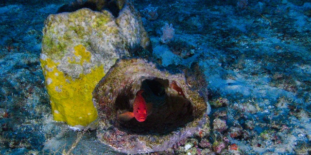 """Images of the Amazon Reef taken from a submarine launched from the MY Esperanza. The Greenpeace ship is currently in the region of the Amazon river mouth, Amapá State, for the """"Defend the Amazon Reef"""" campaign. (Greenpeace)"""
