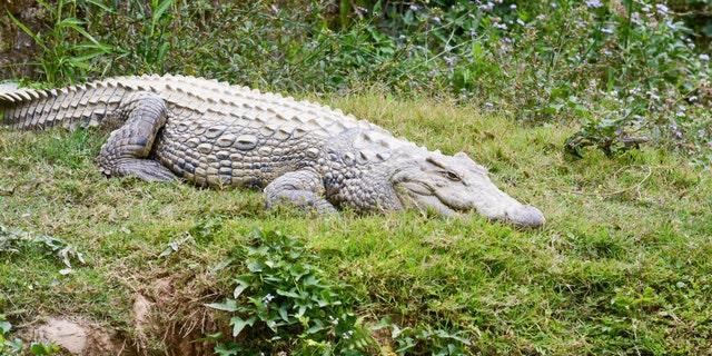 Nile crocodile (Crocodylus niloticus), Africa