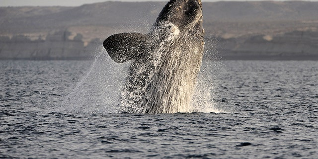 A southern right whale off Argentina in 2011.