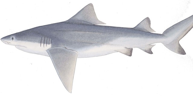 This is an image of the shark Glyphis glyphis which is found in rivers of Asia. (Lindsay Marshall)