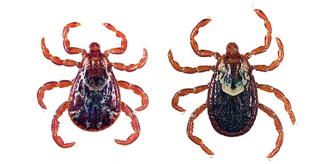 A male and female Rocky Mountain wood tick.